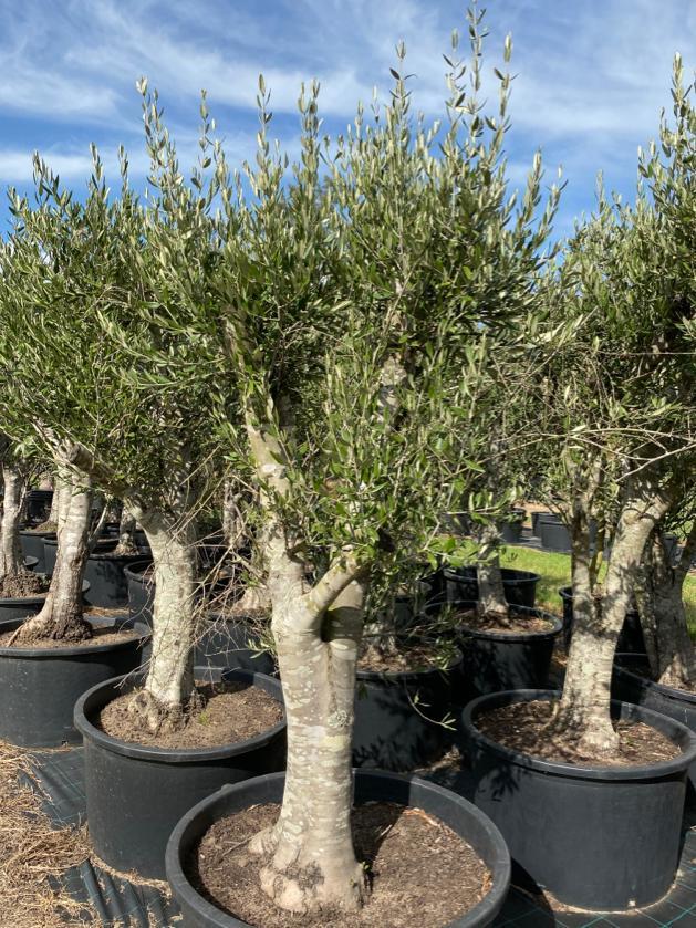 Olive Tree 005