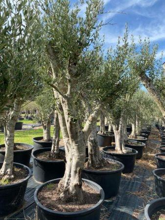 Olive Tree 006