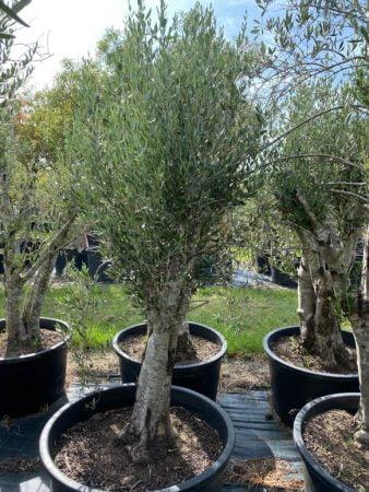 Olive Tree 007