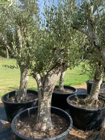 Olive Tree 008