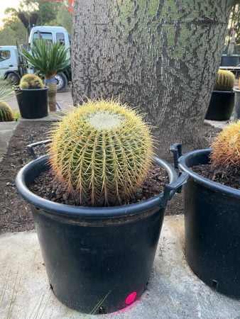 Golden Barrel Cactus 015