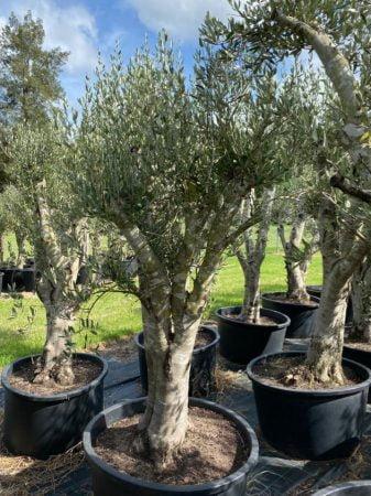 Olive Tree 009