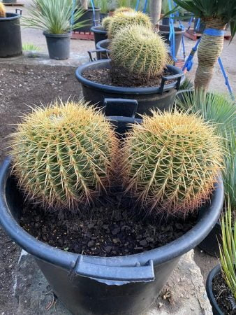 Golden Barrel Cactus 017