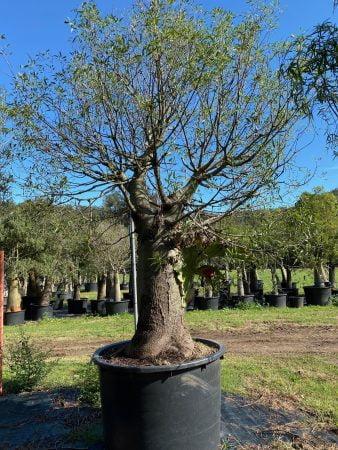Bottle Tree 13