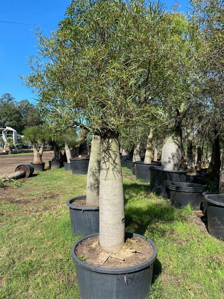 Bottle Tree 16