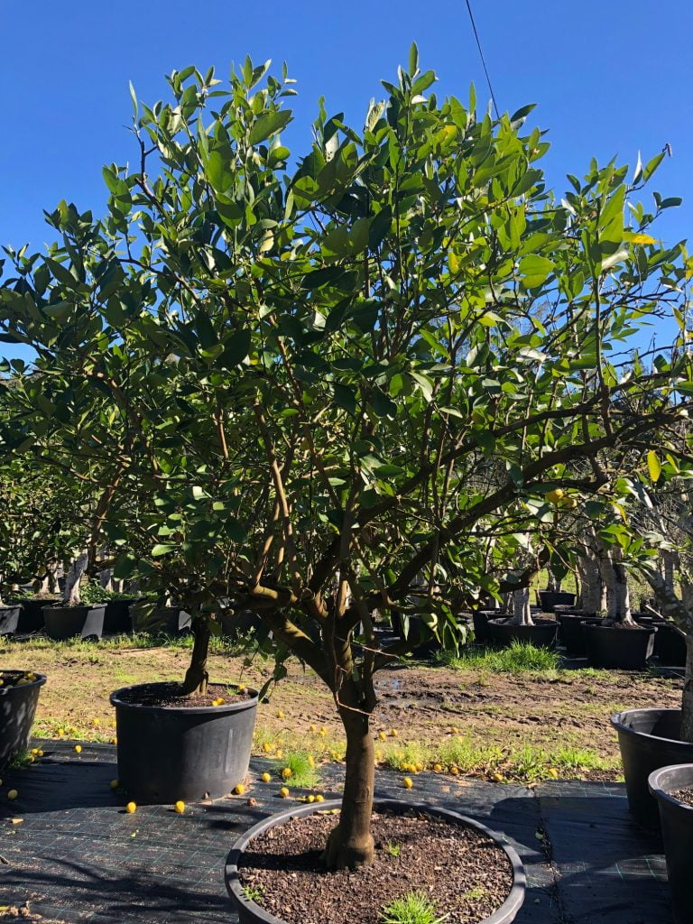 Tahitian Lime Tree 001