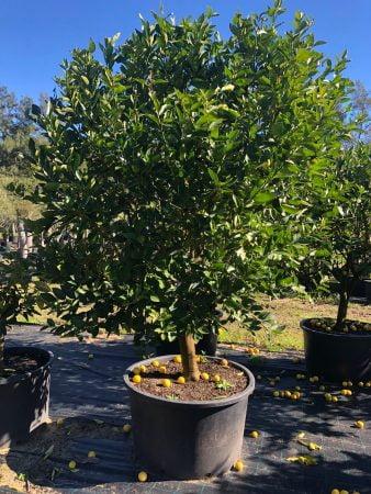 Tahitian Lime Tree 002
