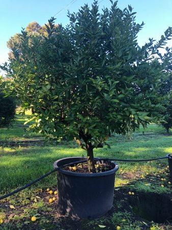 Tahitian Lime Tree 003