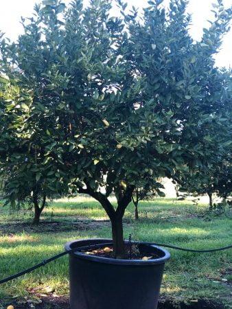 Tahitian Lime Tree 005