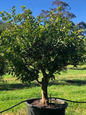 Tahitian Lime Tree 007