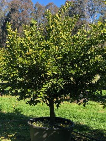 Tahitian Lime Tree 008