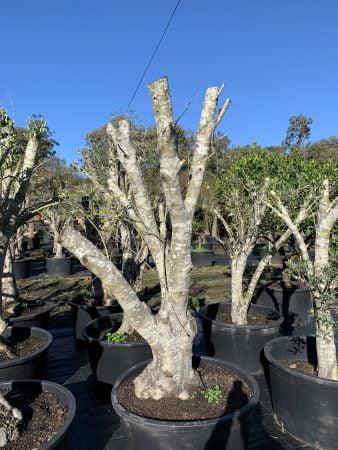 Olive Tree 002