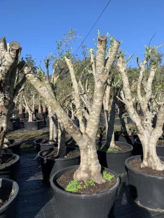 Olive Tree 003