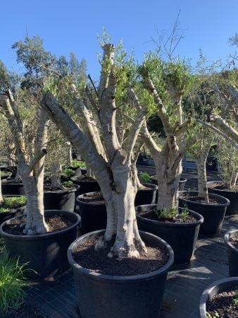 Olive Tree 004