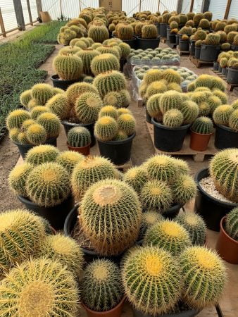 Golden Barrel Cactus 002