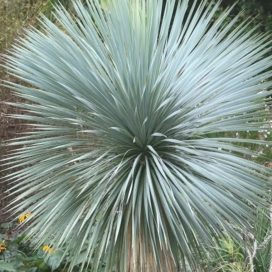 Image of a Yucca Rostrata, one of the many types of Grass Trees.