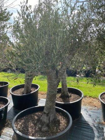 Olive Tree 010