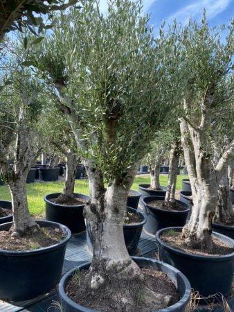 Olive Tree 011