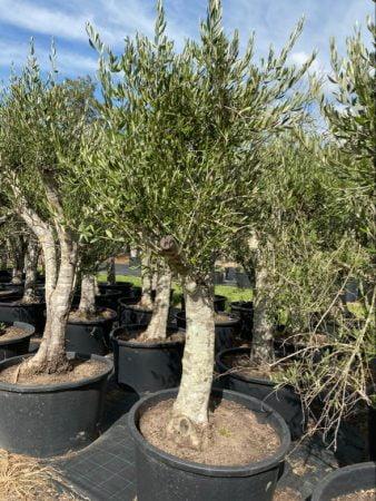Olive Tree 012