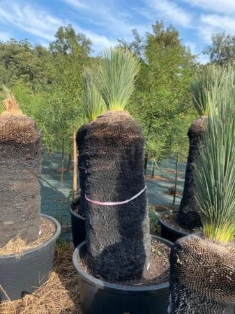 Blue Grass Tree 038