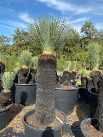 Blue Grass Tree 040