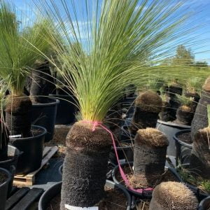Blue Grass Tree 047