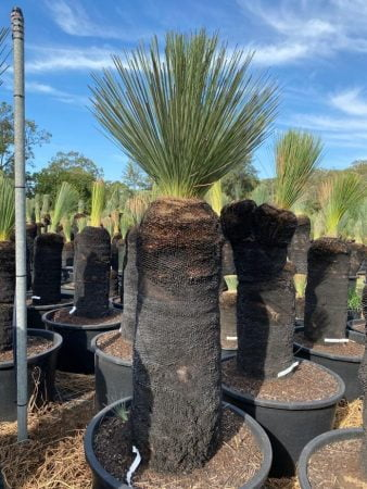 Blue Grass Tree 048