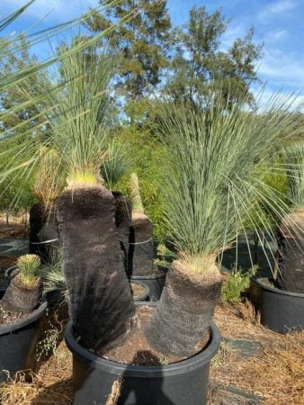 Blue Grass Tree 050