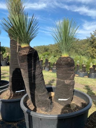 Blue Grass Tree 062