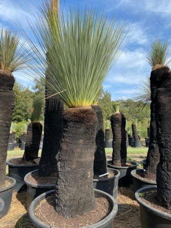 Blue Grass Tree 067