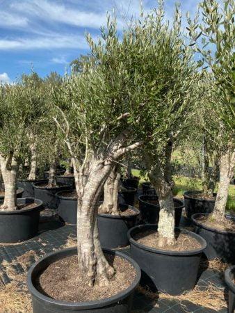 Olive Tree 013