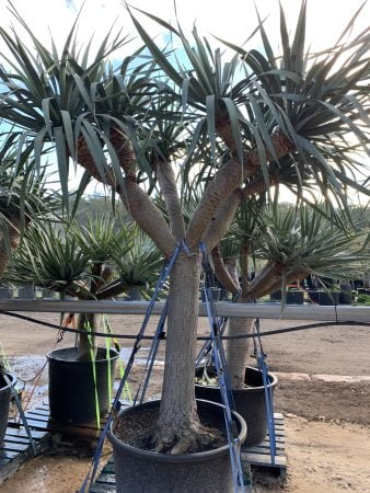 Dragon Tree 020