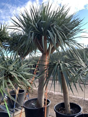 Dragon Tree 025