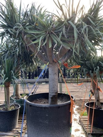 Dragon Tree 030