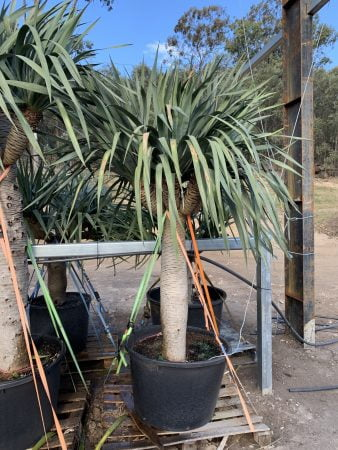 Dragon Tree 033