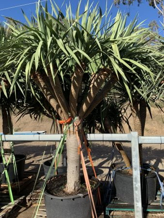 Dragon Tree 041