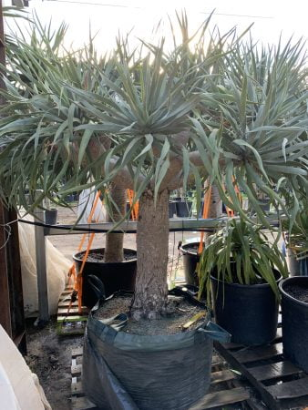 Dragon Tree 067