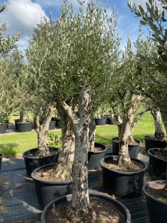 Olive Tree 014