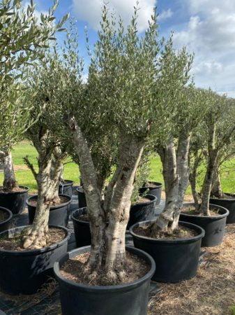 Olive Tree 015