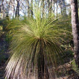 glauca-grass-tree