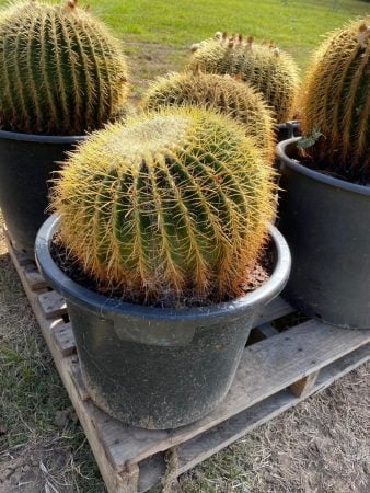 Golden Barrel Cactus 009