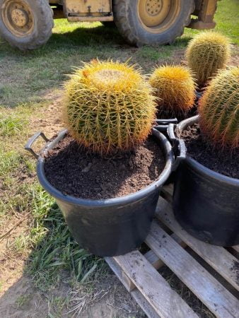 Golden Barrel Cactus 013