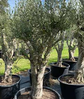 Olives and Oil and Growing Trees