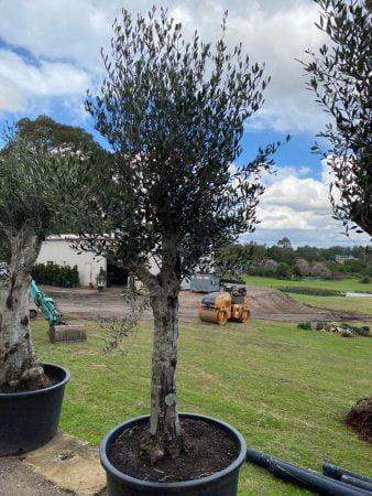 Olive Tree 016