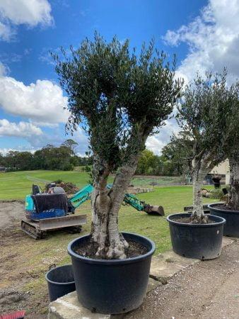 Olive Tree 022
