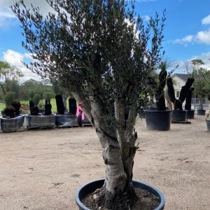 Olive Tree 021