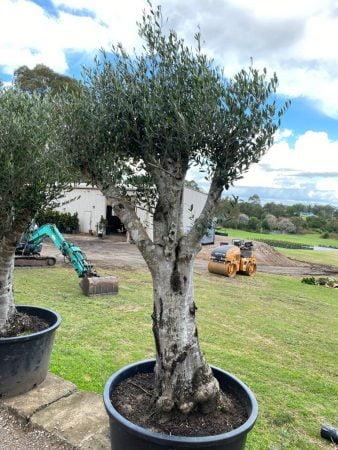 Olive Tree 020