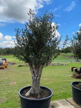 Olive Tree 019