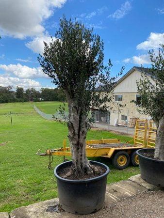Olive Tree 018