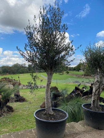 Olive Tree 017